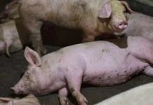 Alertan a México y Centroamérica por brote de peste porcina africana